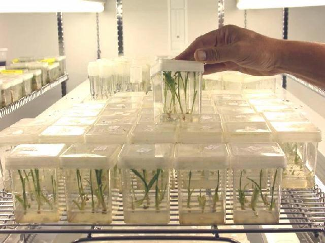 Download this Limited Edition Tissue Culture picture